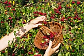 Rosehips being picked