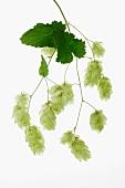 Fresh hops umbels
