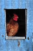 A chicken in a coop