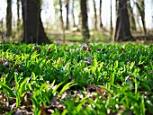 Ramsons (wild garlic) in a wood