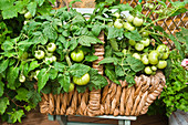 Unripe tomato plants in a plant basket