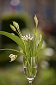 Flowering ramsons in a glass