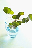 Watercress in a glass of water