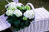 Hydrangeas in a picnic basket