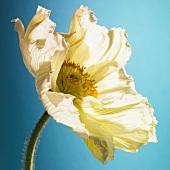 A white poppy