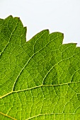 A green vine leaf