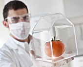 A scientist checking a tomato in a greenhouse