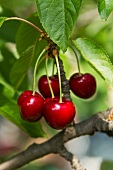 Cherries hanging on a tree