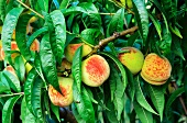 Ripe peaches on a branch between juicy green leaves