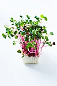 Fresh chilli cress
