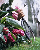 A bicycle leaning against a hydrangea bush