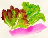 Red and white leaf iceberg lettuce (illustration)