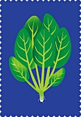Spinach (illustration)