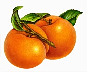 Two apricots with a stem and leaves (illustration)