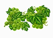 Green grapes on a vine with leaves and water drops (illustration)