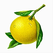 A yellow grapefruit with leaves (illustration)