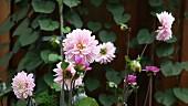 Rosa und lila Dahlien im Garten