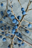Branches of sloes (close-up)