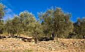 Grove of olive trees in Liguria