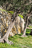 A supporting dry-stone wall in an olive grove