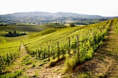 A vast landscape of vineyards