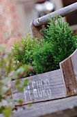 Small potted conifers in wooden crate