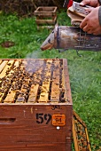 Bees being smoked with the smoker