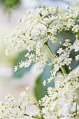 Elderflowers, close-up