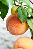 Ripe peaches on the tree