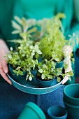Kitchen herbs in small, turquoise flower pots