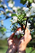 A woman's hands cupped around a twig with white apple blossom