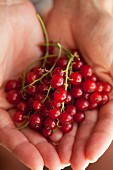 Hands holding redcurrants