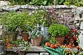 Assorted varieties of oregano in pots