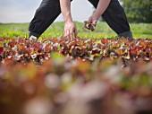 Worker picking salad crop