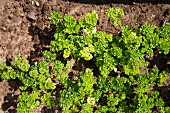 Curly parsley in a bed in the garden