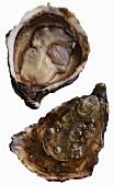 A fresh Gillardeau oyster