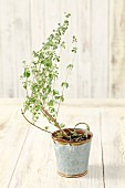 A marjoram plant in a pot