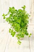A mint plant in a flowerpot