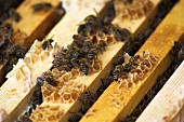 Bees sitting on the frame of the honeycombs