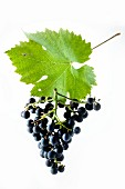 Cabernet Cortis grapes with a vine leaf