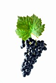 Regent grapes with a vine leaf