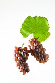 Pinot gris grapes on a vine leaf