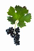 Cabernet franc grapes with a vine leaf