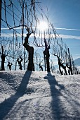 Backlit vines against a blue sky, Aargau