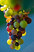 Pinot grigio grapes changing colour, Véraison
