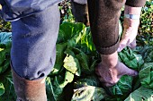 A man pulling cabbages from a vegetable patch