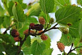 Mulberries on a bush