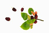 Mulberries, ripe and unripe