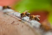 Two honey bees