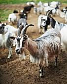 Goat's in a meadow